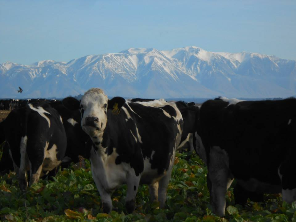 NZ dairy