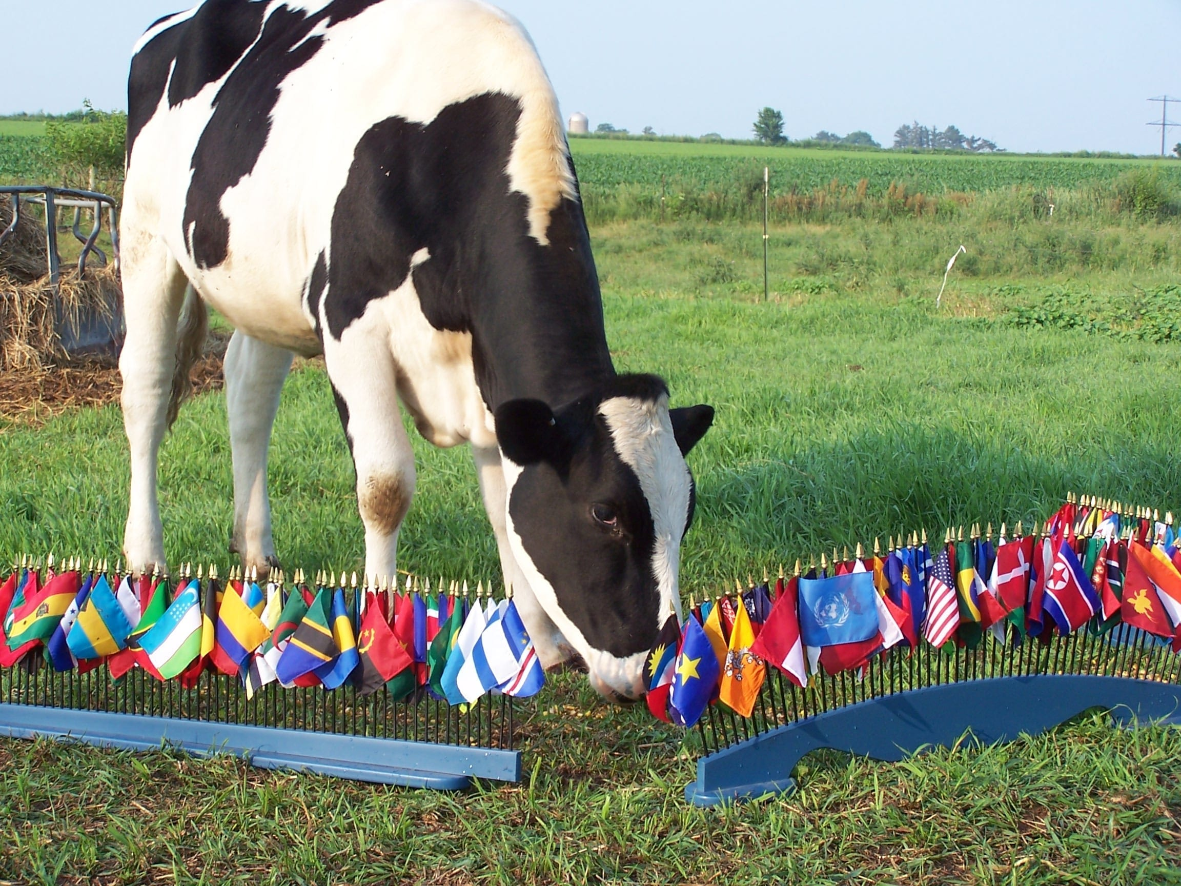 cow with flags