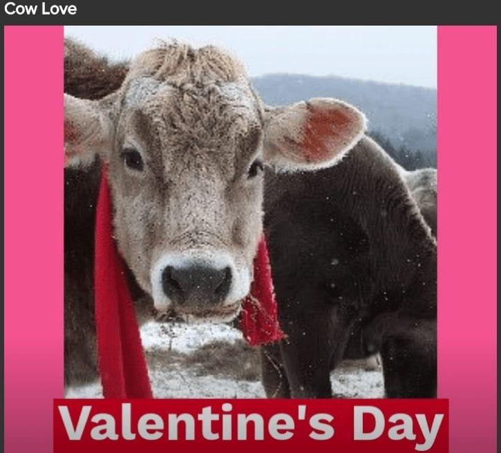 Cow love on Valentine's day