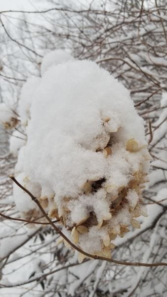 snow covered hydrangea