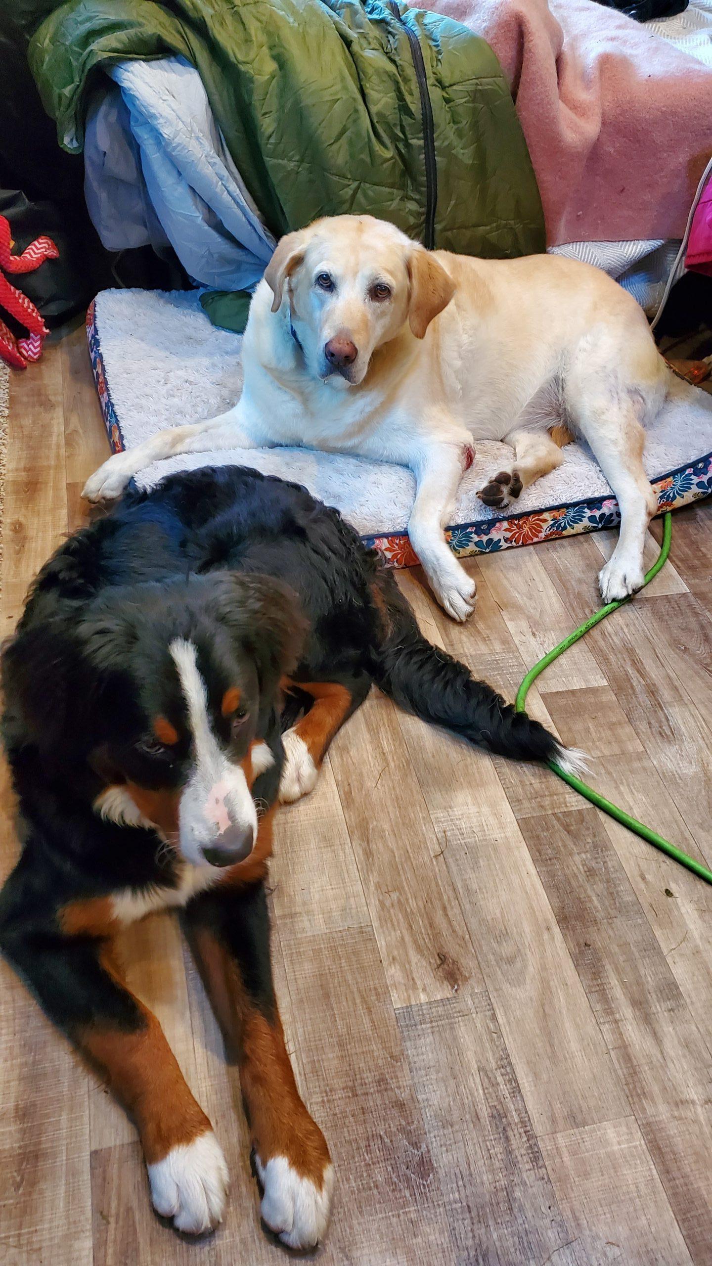 dogs in camper