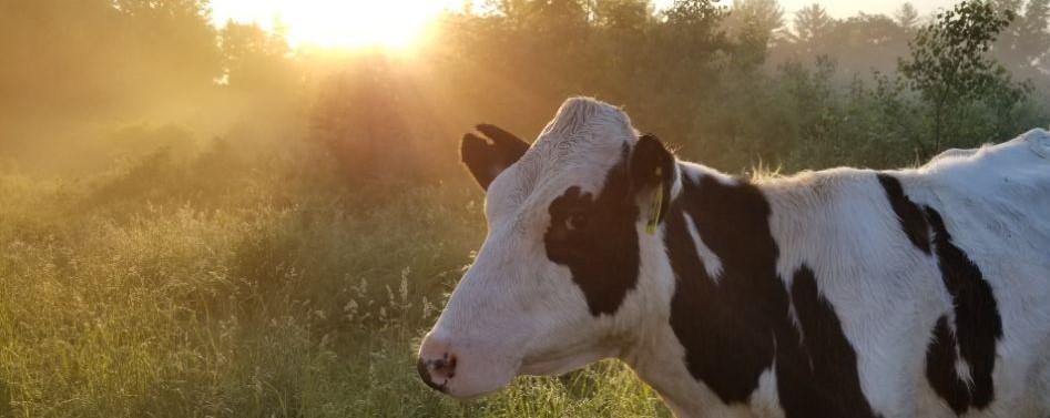 sun cow